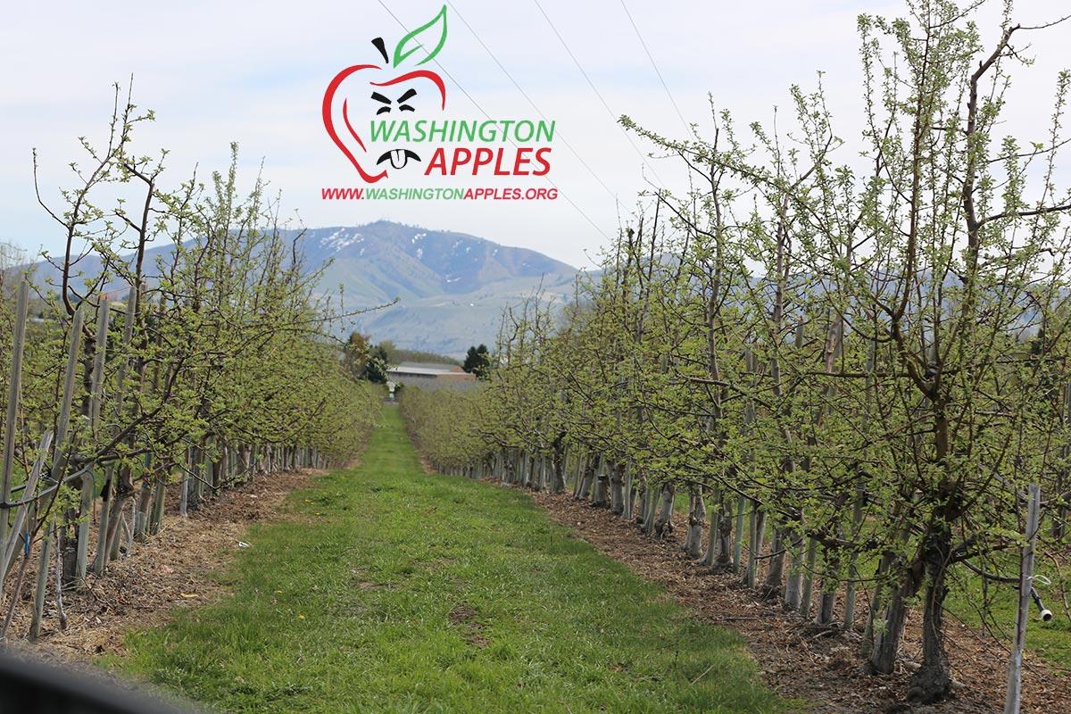 orchard_washington_apple